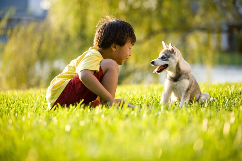 Young Asian boy playing with Alaskan Klee Kai puppy sitting on grass: the positive effects of dogs on ASD, animals helping those with Autism
